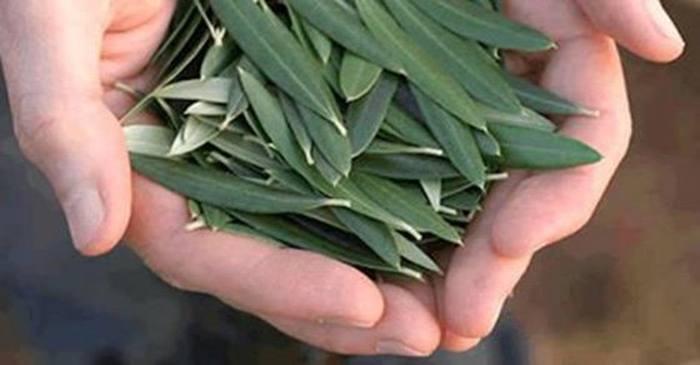 folha oliveira herpes