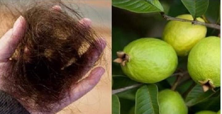 Queda de cabelo, feridas, bronquite, emagrecimento, colesterol: Descubra os poderes da folha de goiaba