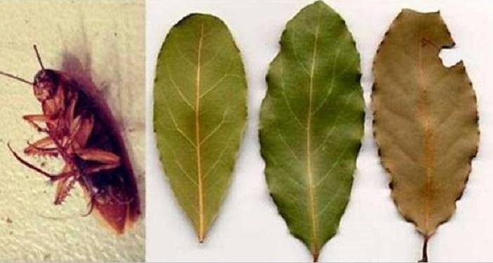 Coloque esta folha nos cômodos de sua casa e elimine todas as baratas em pouco tempo