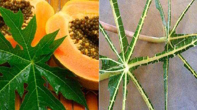 2 receitas com folhas de mamão vão equilibrar o açúcar no seu sangue e elevar sua imunidade