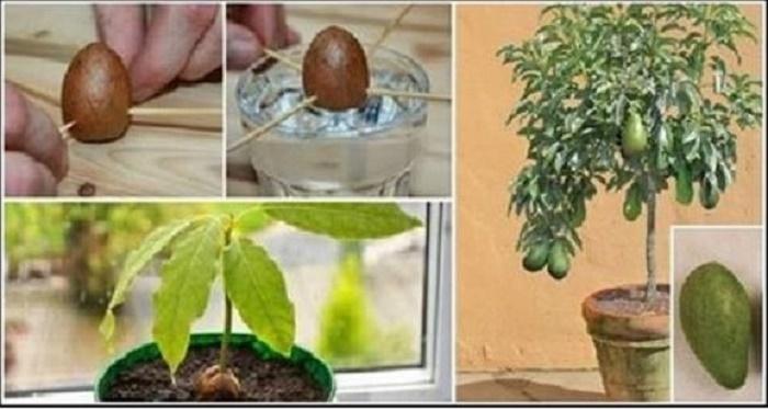 Se você fizer isso em um vaso plástico, em pouco tempo terá centenas de abacates nas mãos!