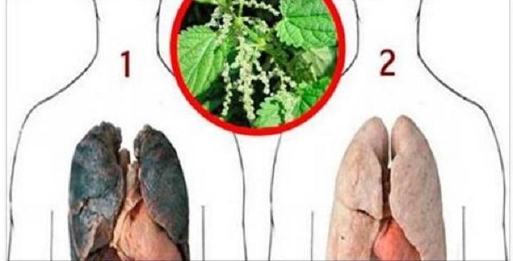 Para quem fuma ou fumou: esta planta vai limpar seus pulmões e fazer você perder a vontade de fumar