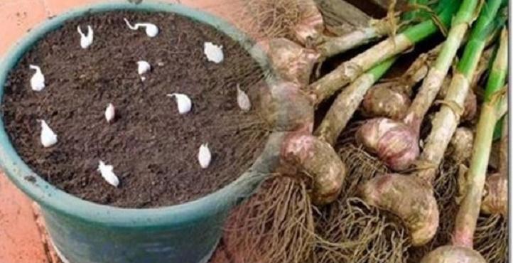 Não compre alho nunca mais – plante facilmente alho na sua casa com esta dica