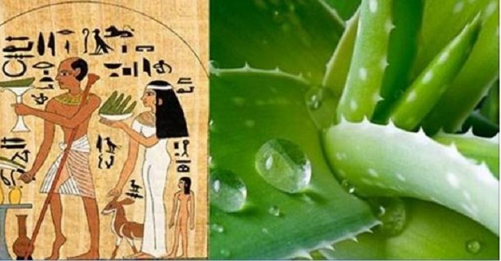 """Por que os egípcios chamavam a babosa de """"a planta da imortalidade""""? E como usá-la para curar doenças"""