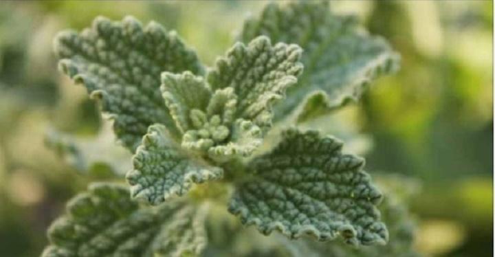 Esta planta cura de forma quase imediata fígado e vesícula e desinflama magicamente o intestino