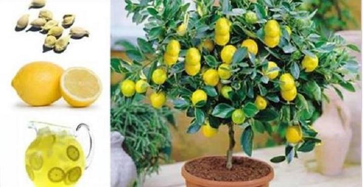 Como plantar um pé de limão a partir das sementes e até dentro de um apartamento