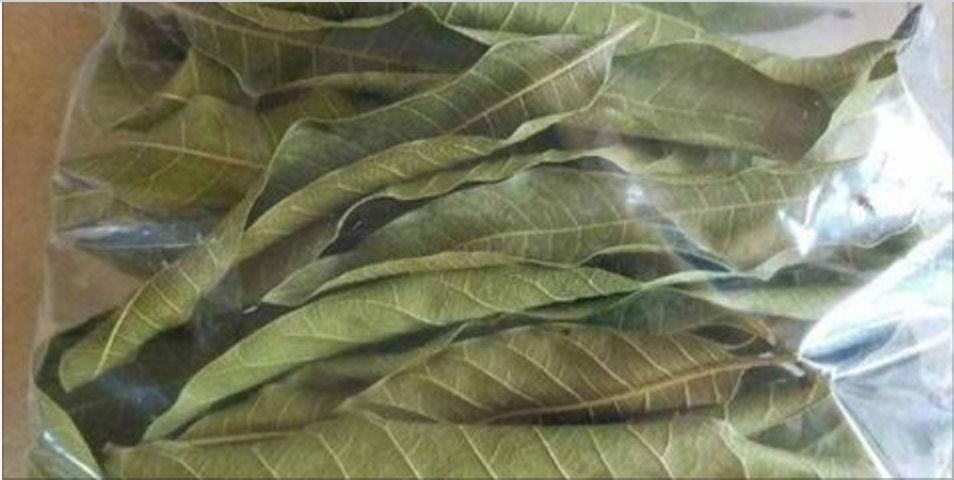 Esta folha é poderosa para tratar diabetes, pressão alta e problemas de má circulação