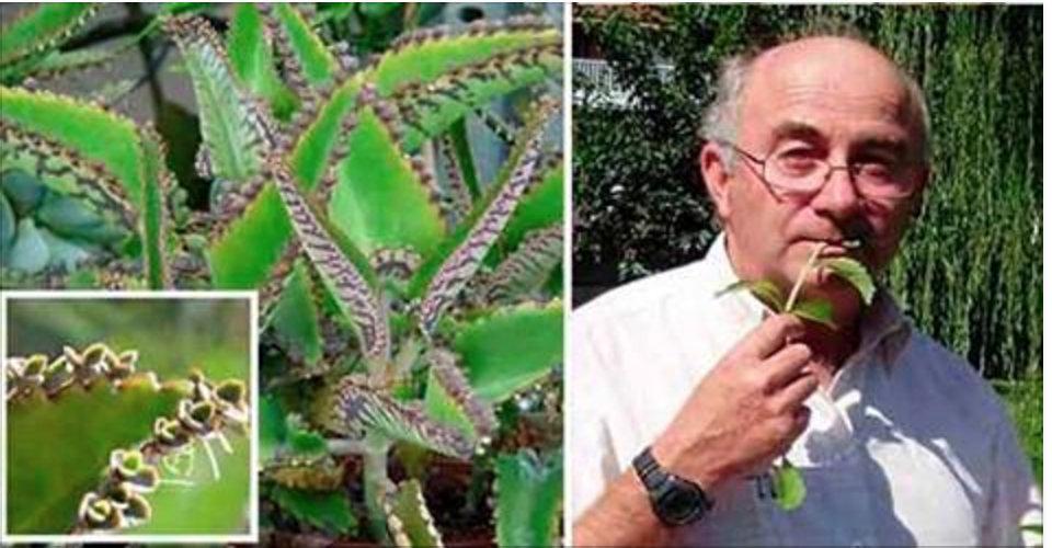 Células cancerosas morrem quando se consomem folhas desta milagrosa planta!