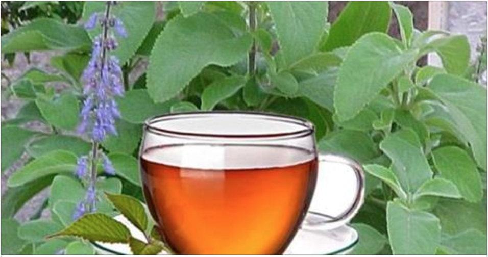 Comece a tomar o chá desta planta e em poucos dias seu fígado estará completamente curado