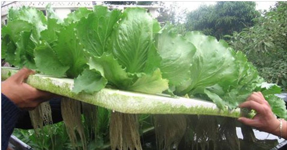 Aprenda a cultivar sua própria horta orgânica em casa simplesmente utilizando água