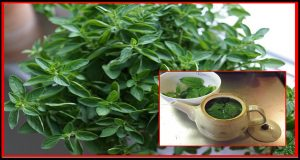chá-oregano-1
