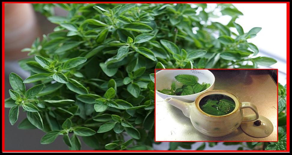 Receita do poderoso chá para curar dor de garganta, sinusite, tosse, dores de cabeça, dor nas costas e infecções
