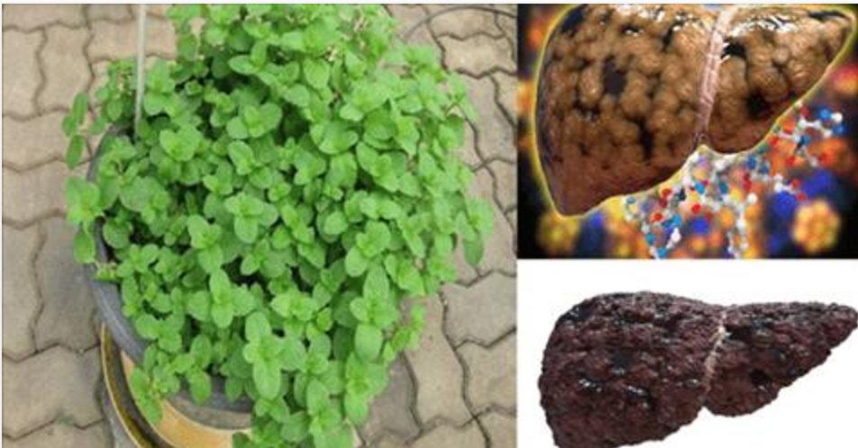 É com esta planta que você vai tirar toda a gordura do seu fígado em apenas 3 semanas!