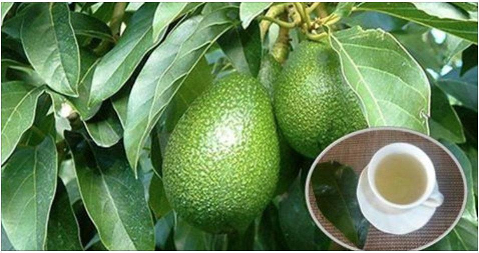 As folhas de abacate e suas incríveis propriedades medicinais!