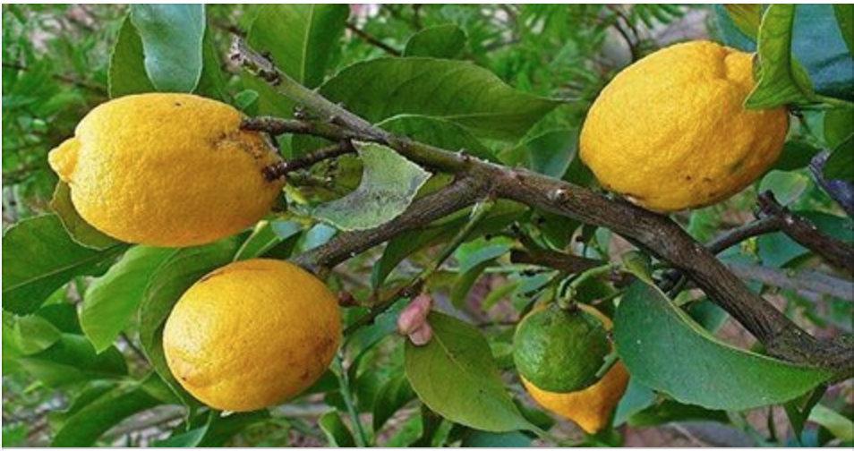 Tome água morna com limão no lugar de comprimidos se você tem um destes 10 problemas!