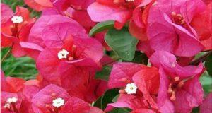 flor_medicinal
