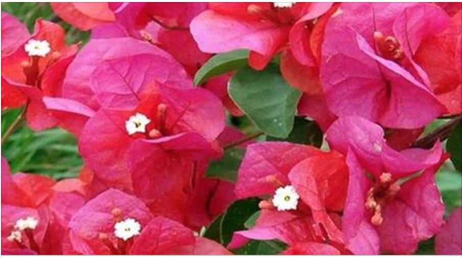 A flor que pode curar várias doenças – mas você, por não saber disso, só a usa como decoração!