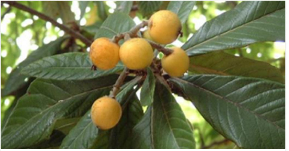 Esta folha e fruta estimulam a produção de insulina, limpam os rins, eliminam o ácido úrico, protegem contra o câncer e melhoram a visão!