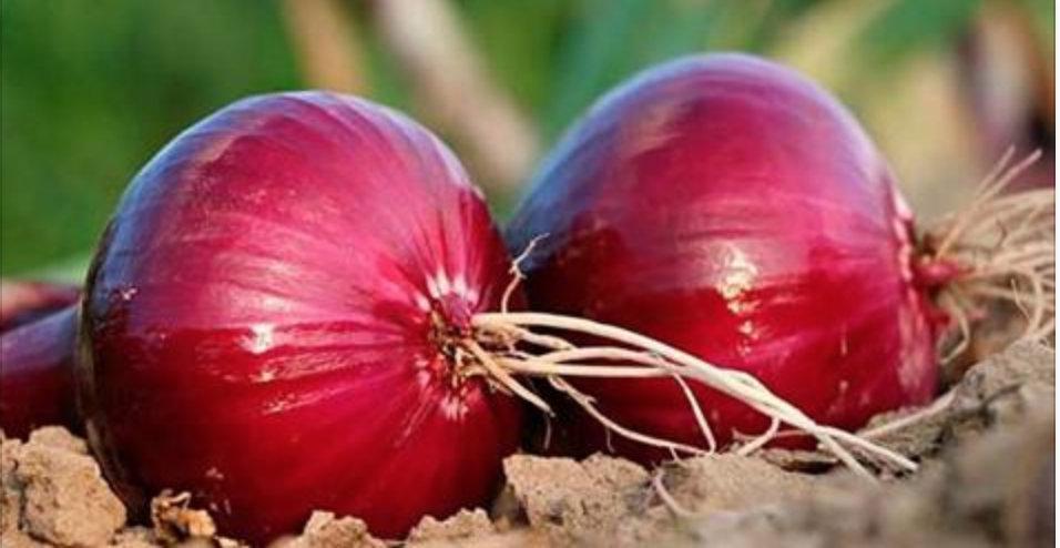 Cebola roxa – potente antidiabetes e antibiótico que ajuda a controlar a glicose e curar rapidamente infecções e dor de garganta!