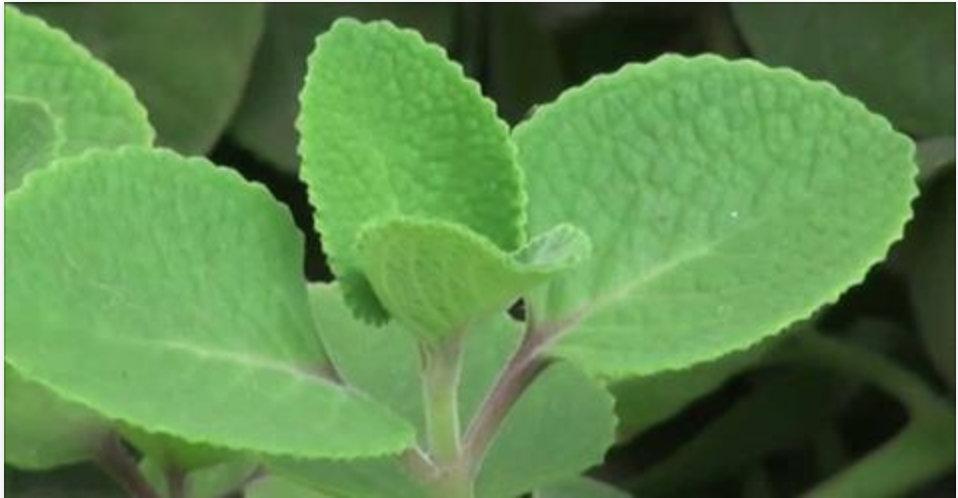 """Conheça a planta """"vaporub"""": maravilhosa para tratar sinusite, asma, diabetes e fortalecer o coração!"""