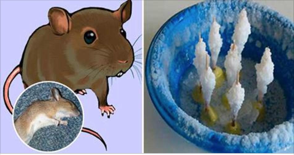 Pegue água, adicione sal e este ingrediente secreto – coloque nos cantos de sua casa e logo todos os ratos vão desaparecer!
