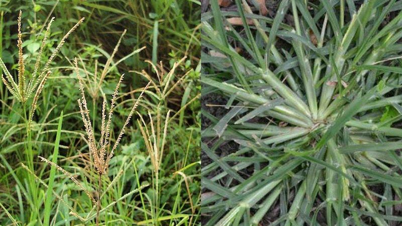Uma grama com grande poder medicinal: cura pneumonia, mioma e caspa em poucos dias!