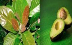 O Chá das folhas de abacate pode curar todas estas doenças  – aqui está como fazer e tomar.
