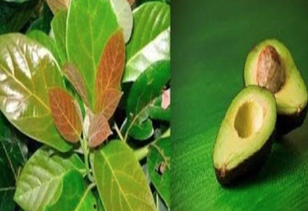 Folha de abacate é