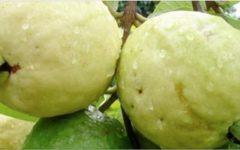 Muitos não sabem: esta fruta cura feridas, gastrite e controla pressão alta e triglicerídeos!