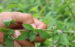 Essa planta cura o fígado e a vesícula biliar e acaba com a inflamação nos intestinos