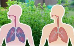 6 ervas que matam vírus e bactérias e eliminam o muco dos pulmões