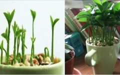 Como plantar limão em uma xícara para decorar e perfumar sua casa