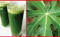 Benefícios da folha de mamão para a saúde