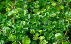 9 Benefícios do chá de tomilho