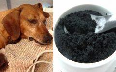 Como usar carvão ativado para salvar cães e gatos envenenados