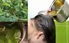 Folha da goiaba acaba com a queda estimula crescimento dos cabelos