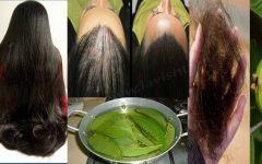 Folhas de goiaba com babosa e óleo de hortelã: para acabar com a queda de cabelo